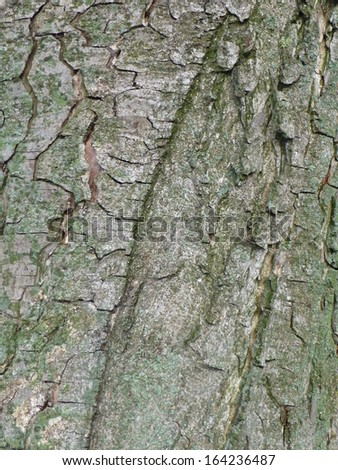 Aesculus hippocastanum is a large deciduous tree, commonly known Stock photo © AlessandroZocc