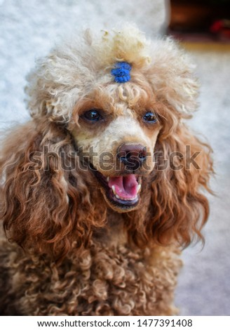 Portrait of toy poodle. Detail on head and eyes. Little cute puppy. Stock photo © X-etra
