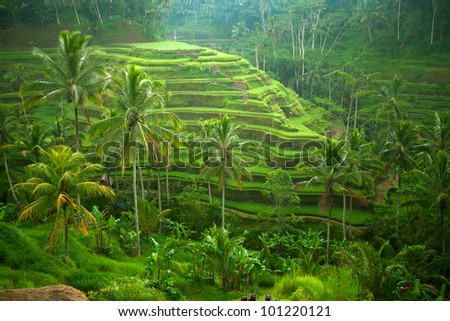 Picturesque rice field on the island of Bali, Indonesia. Tourism in Asia Stock photo © galitskaya