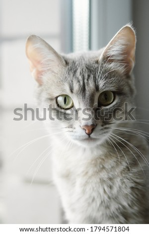 Beautiful grey cat sitting on windowsill and looking to a window Stock photo © ruslanshramko