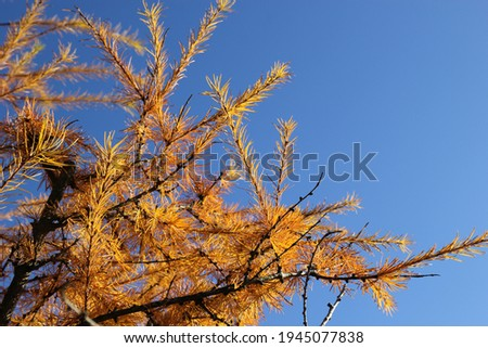 Yellow autumn larch against the blue sky Stock photo © inxti