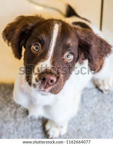 cute working type english springer spaniel playing in the sea stock photo © chrisga