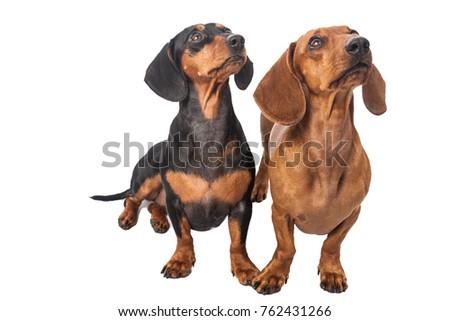 kort · haar · puppy · teckel · portret · witte · gelukkig - stockfoto © vauvau