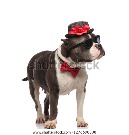 curious american bully wearing red bowtie and collar looks up Stock photo © feedough