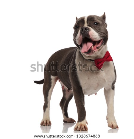 excited american bully wearing bowtie pants and looks to side Stock photo © feedough