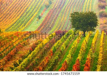 grapevines in vineyard, Czech Republic Stock photo © phbcz