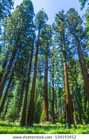 Sequoia national Park with old huge Sequoia trees like redwoods in beautiful landscape Stock photo © meinzahn