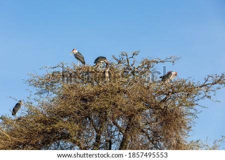 Marabou Stork Awassa Ethiopia Africa Zdjęcia stock © Artush