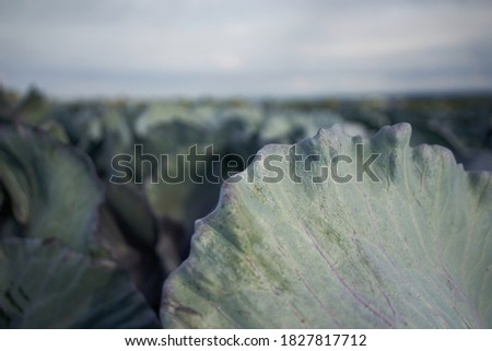 a pattern of petals of organic green cabbage on a blue background vegetarian food macro photo stock photo © artjazz