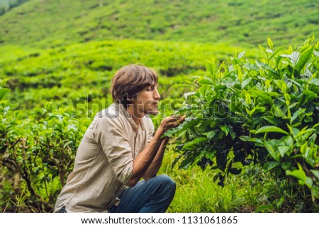 Men tourist at a tea plantation. Natural selected, Fresh tea leaves in tea farm in Cameron Highlands Stock photo © galitskaya