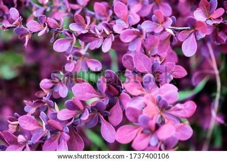 Bush barberry closeup Stock photo © butenkow