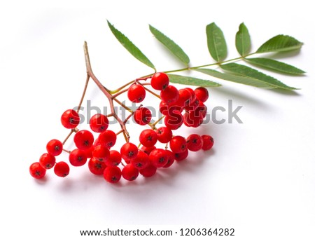 ashberry with red berry and green leaf isolated on white backgro Stock photo © inxti