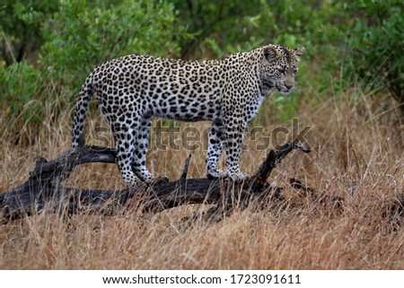 Leopard on the lookout in the Kruger National Park, South Africa Stock photo © simoneeman