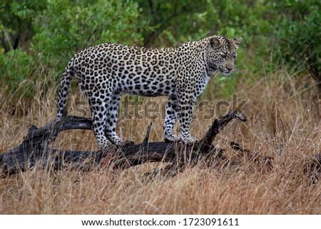 Leopárd park dél Afrika fa természet Stock fotó © simoneeman