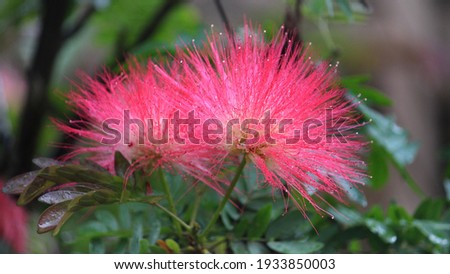 Detail of long stamens of Mimosa tree Stock photo © AlessandroZocc