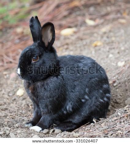 Melanistic European Domestic Rabbit (Oryctolagus cuniculus domesticus) Stock photo © yhelfman