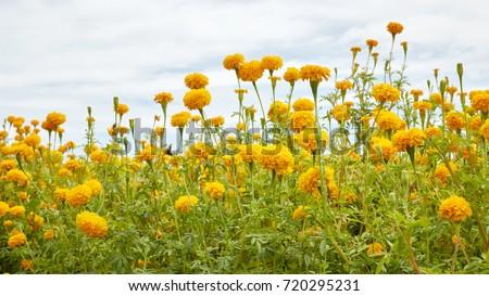 Marigold flowers in the garden Stock photo © colematt