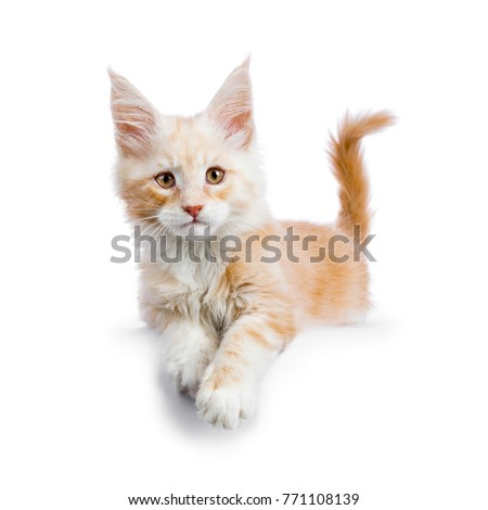 Stock photo: Red silver Maine Coon cat kitten laying isolated on white background