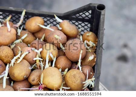 Krumpli kosár tavasz hajtás közelkép élet Stock fotó © Illia