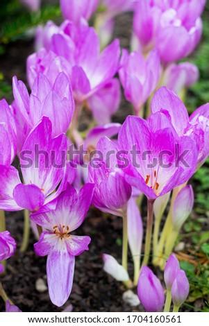 Roxo flores outono açafrão flor natureza Foto stock © laciatek