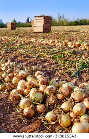 Agriculture in Spain, onion fields Stock photo © lunamarina