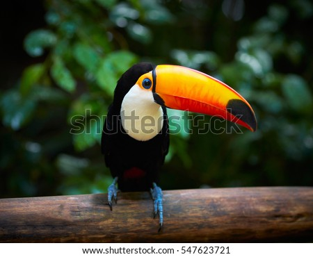 Toucan (Ramphastos toco) sitting on tree branch in tropical fore Stock photo © alex_grichenko