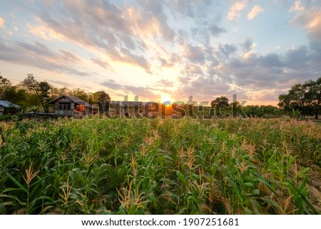 Orgánico maíz local mercado alimentos salud Foto stock © iko