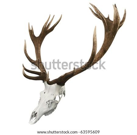 Animal crânio isolado branco Foto stock © sqback