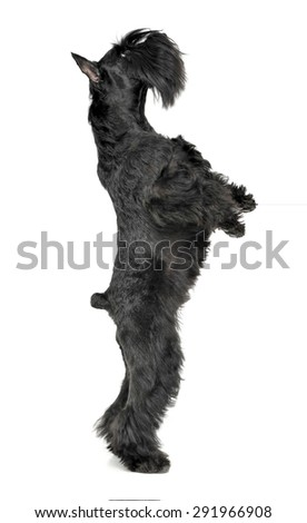 Miniature Schnauzer standing in two legs in a white photo studio Stock photo © vauvau