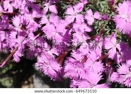 Karanfil aile çiçekler pembe doğa yaprak Stok fotoğraf © LianeM