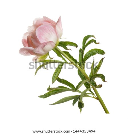 Gentle pink and white peonies with green leaves on a gray concrete background with space for text. M Stock photo © artjazz
