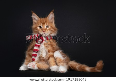 Handsome red Maine Coon cat kitten isolated on white background stock photo © CatchyImages