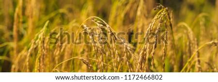 Rijp oren rijst pussy veld zonlicht Stockfoto © galitskaya