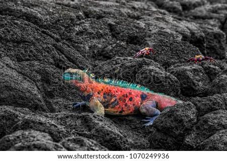 Animals - Christmas Marine Iguanas on Espanola Island on Galapagos Islands Stock photo © Maridav