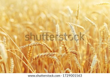 grain field closeup Stock photo © prill
