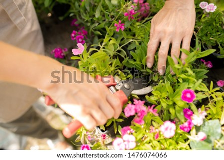 Young female farmer using pruning shears to take care of pink garden carnation Stock photo © pressmaster