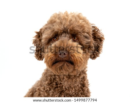 Stúdiófelvétel imádnivaló vegyes fajta kutya labrador Stock fotó © vauvau