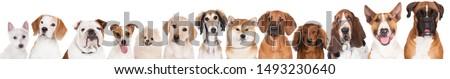 Aanbiddelijk stier terriër labrador retriever hond Stockfoto © vauvau
