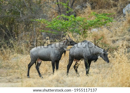 Nilgai or blue bull is the largest Asian antelope and is endemic Stock photo © cookelma