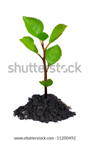 Young growing little tree with chunk of earth isolated on white  Stock photo © Petkov