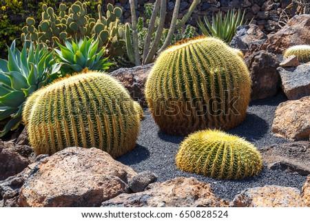 cactuses in lanzarote spain echinocactus grusonii golden barre stock photo © meinzahn