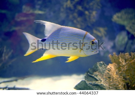 Jack stripped fish with yellow fins in tropical Red Sea, nature Stock photo © lunamarina