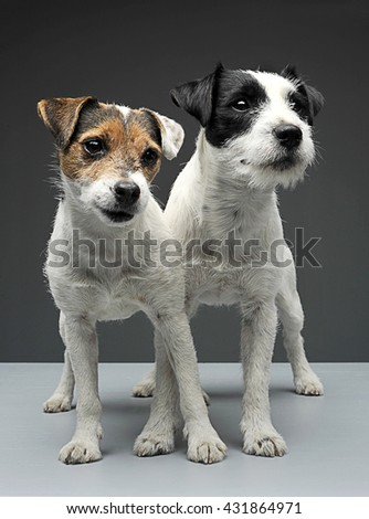 two parson russell terriers staying with cross legs in the gray stock photo © vauvau
