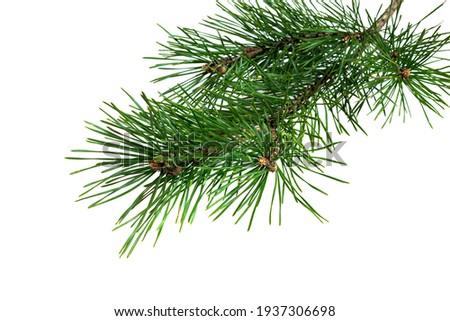 Coniferous Branches Stock photo © derocz