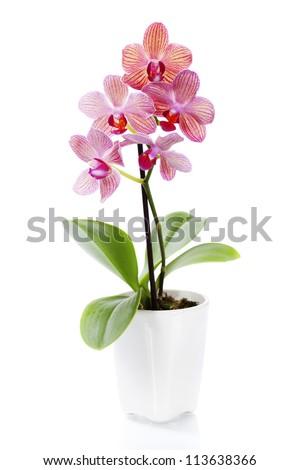 Beautiful flower Orchid, pink phalaenopsis in vase isolated on w Stock photo © tetkoren