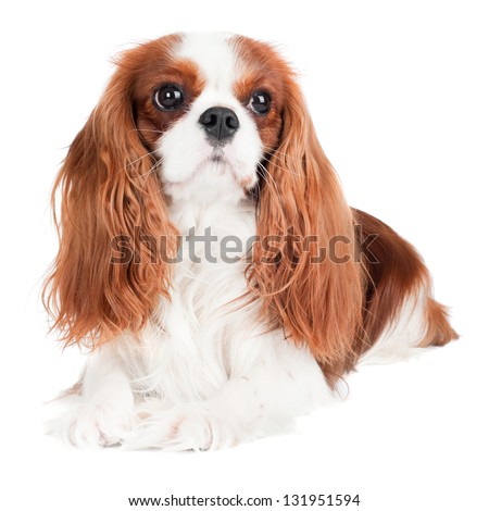cute puppy Cavalier King Charles Spaniel lying and looking up in Stock photo © vauvau