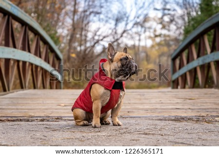 French bulldog sitting and looking sidewaysin the white studio