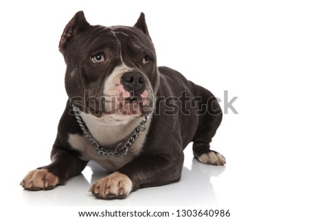 cute american bully wearing collar relaxes and looks to side Stock photo © feedough