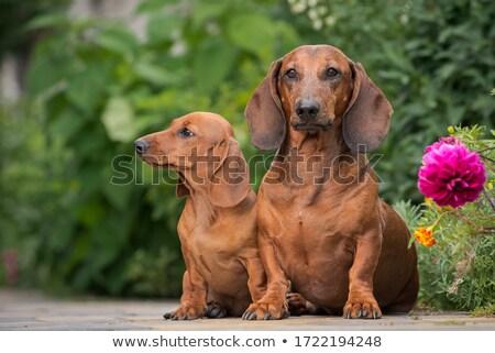 Twee cute teckel hond puppy Stockfoto © vauvau