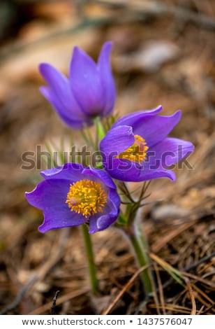 Pulsatilla patens or Eastern pasqueflower  Stock photo © Arsgera